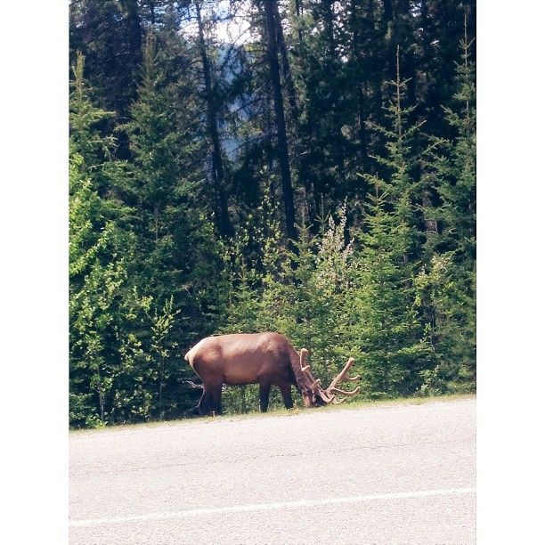 And I also saw an elk today on the way to Lake Louise