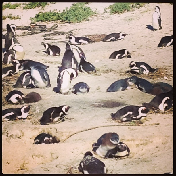Penguins, penguins everywhere ...! Boulder's beach!