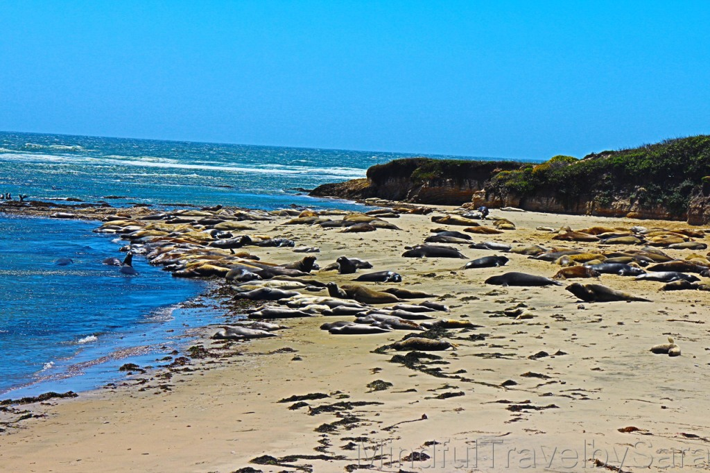 Seals-Beach