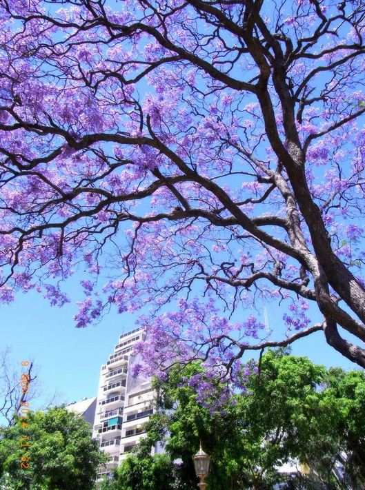 blossom in buenos aires