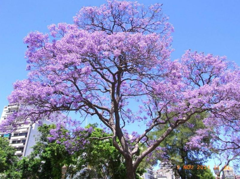 blossom tree in buenos aires